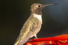 humingbird08-10-2020a