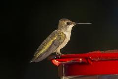 humingbird08-10-2020c