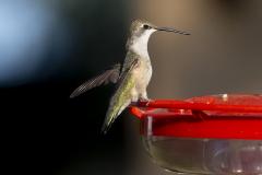 hummingbird08-12-2020b