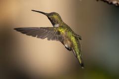 hummingbird08-12-2020c