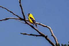 goldfinch07-07-2020a