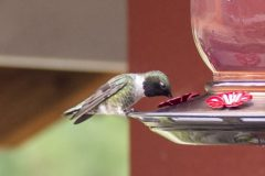 Black-Chinned Humingbird
