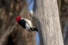 redheadedwoodpecker03-20-2021e